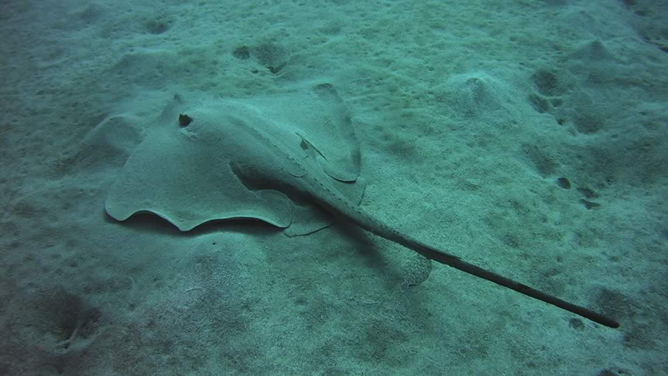 stingray diving tenerife