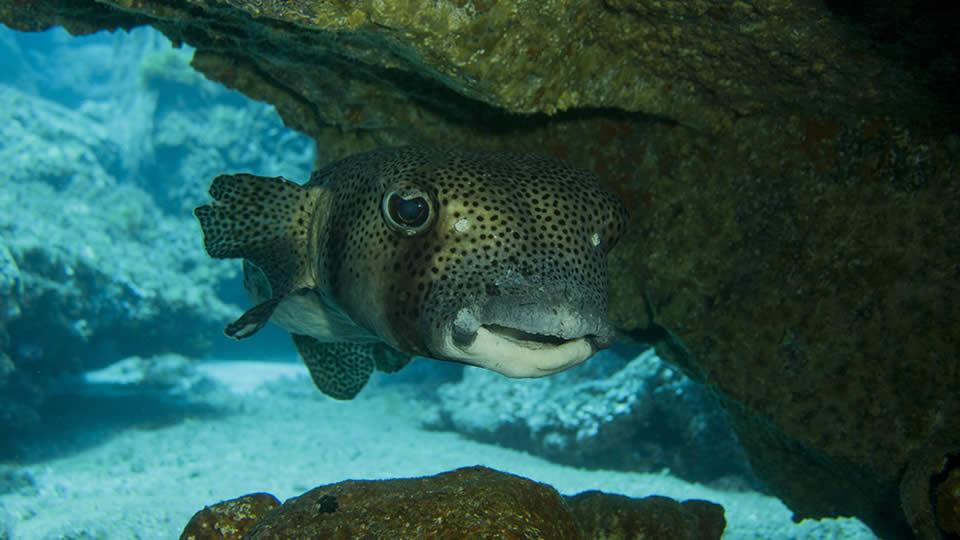 burrfish diving tenerife