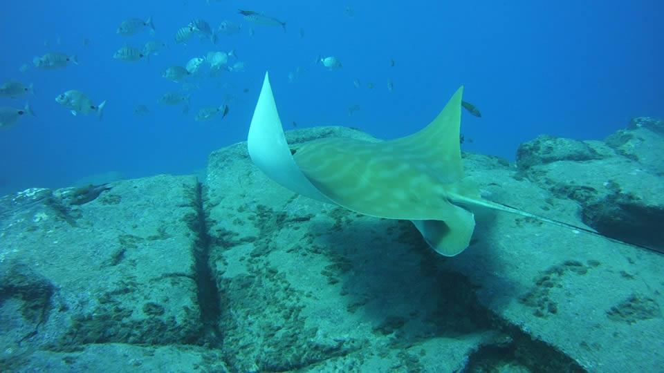 bull ray diving tenerife