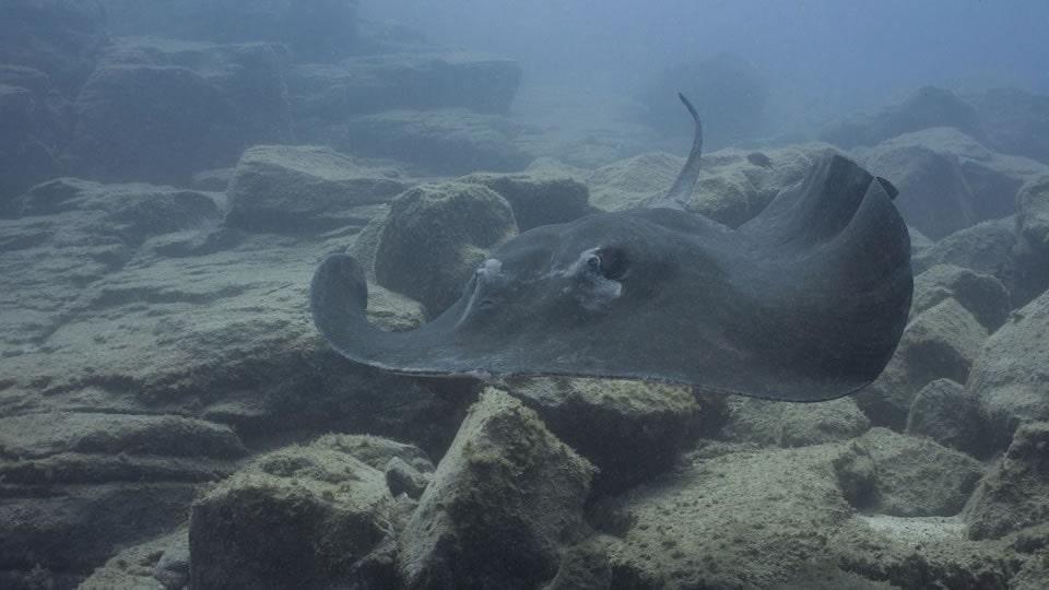 stingray diving tenerife