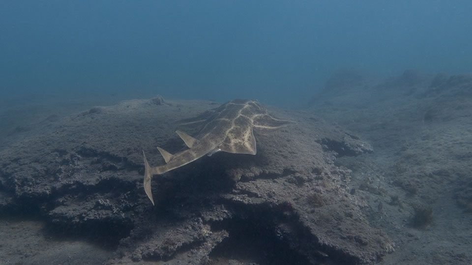 angel shark diving tenerife