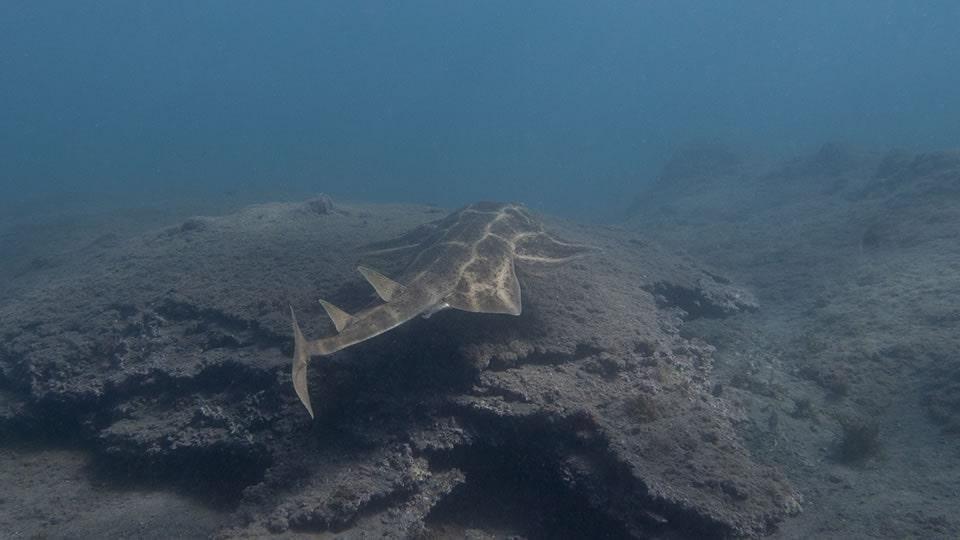 angel shark diving tenerife