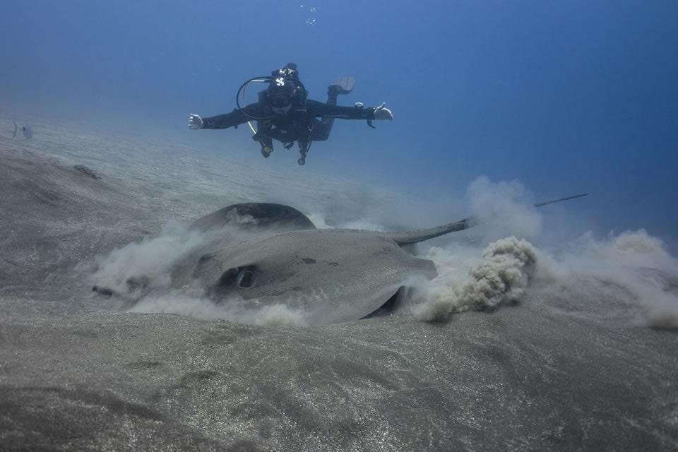 padi underwater naturalist sting ray