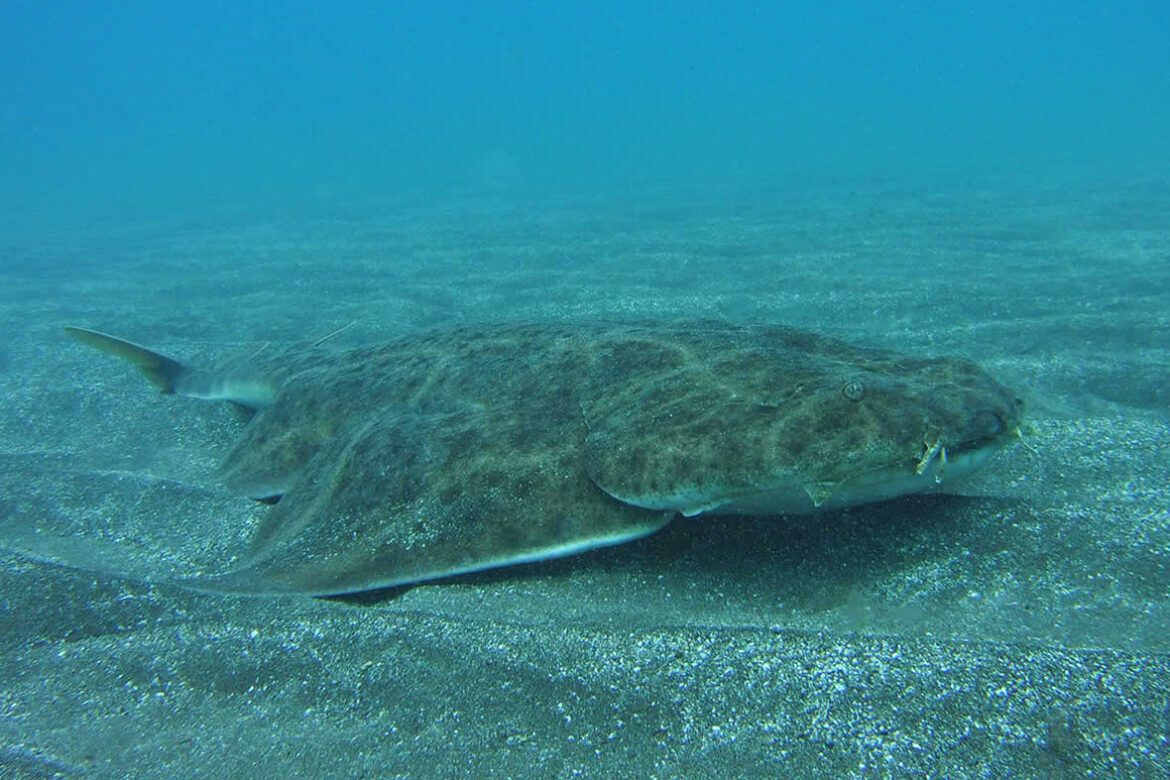angelshark in tenerife